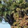 Camelia bush and giant palm