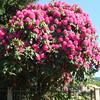 Shocking pink flowering trees awake my senses in Spring