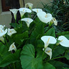 Cala lilies are one of my favorites. These were in Santiago.