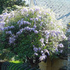 Huge Wisteria bush-tree