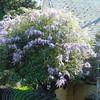 Huge Wisteria bush-tree