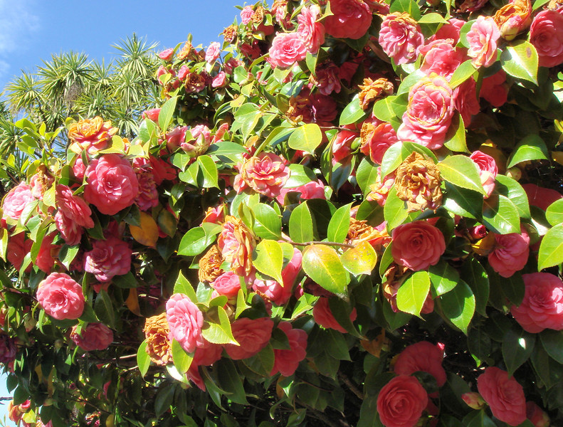 Camelia grow in crazy huge bushes