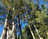 Eucalyptus trees, many in Chile