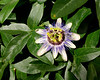 Niebla B&B ~ surrounded by gardens (Passionflower)