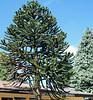 Villarrica ~ Araucania tree (AKA Monkey Puzzle)