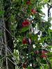 Rancho Rio del Sol ~ rare vine
