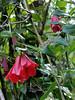 Rancho Rio del Sol ~ rare vine, closeup
