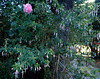 Niebla B&B ~ surrounded by gardens; rose TREES, Fuschia of all sorts through out Chile