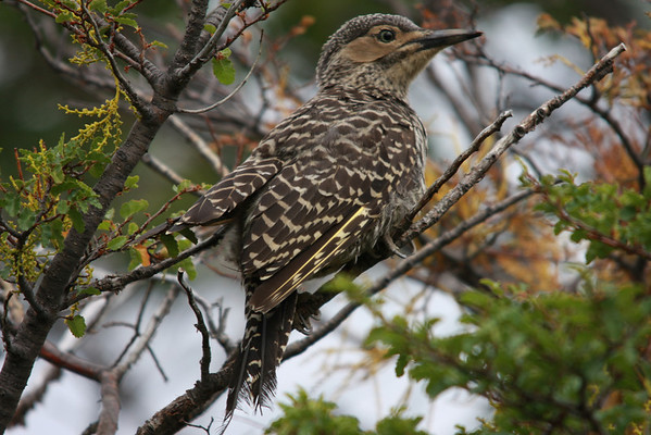 Chilean Birds