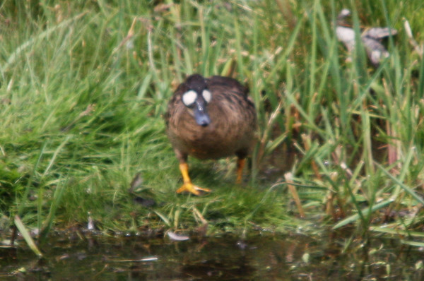 Pato Antiojillo, Spectacled Duck