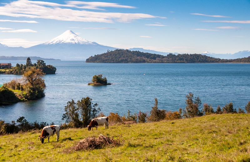 Cows grazing at Llanquihue lake