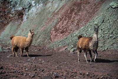 Llamas walking, Valle Arco Iris
