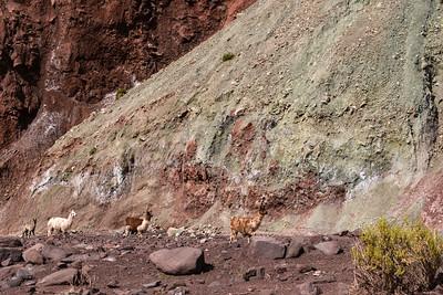 Llamas at Valle Arco Iris