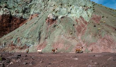 Llamas at Valley Arco Iris 2