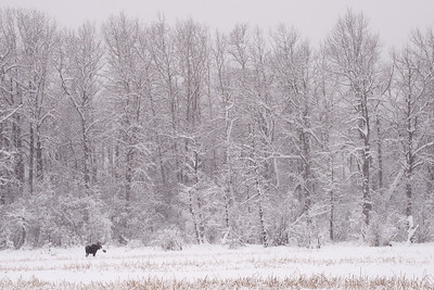 Cow moose in a field during a snowstrom.