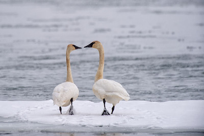 A mating pair of swans on the Chilkat River in December. I saw on two occasions I saw swans eating dead salmon.