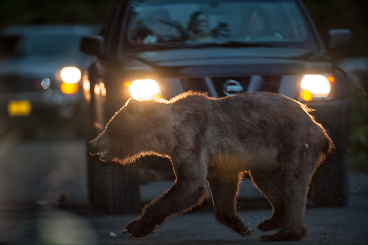 Bear viewing on the Alaska Coast is becoming more and more popular. Bear and people conflicts are common.