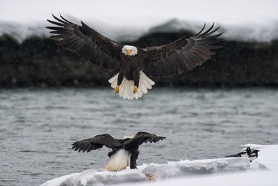 American Bald eagle and salmon in the Chilkat Valley, Haines, Alaska. The Chilkat is home to the world's largest concentration of Bald Eagles, who descend on the valley for the late season salmon run.