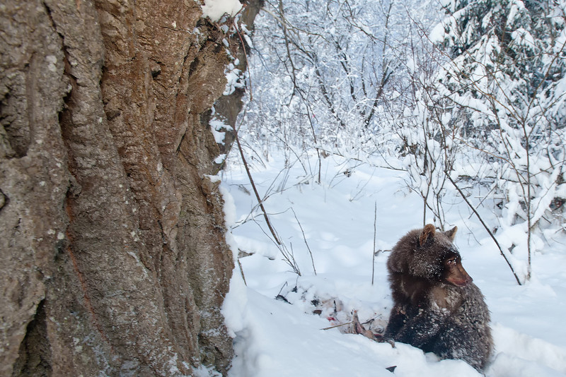 This grizzly cub lost her mom and sibling to a car accident. The cub was surviving and spawned out salmon. I don't know if it made it through the winter.