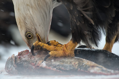 Bald Eagle feasts on a spawned out salmon in the snow on the banks of the Chilkat River, Haines, Alaska.