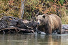 Older grizzly cub moving quickly through the water by a log,, Chilko Lake, BC