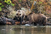 Grizzly cub about to join its mother in the water by the lake shore, Chiklo Lake, British Columbia