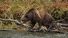 Female grizzly (Ursus arctos horribili) navigating the lakeshore with fall leaves, Chilko Lake, BC