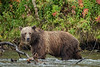 Female grizzly (Ursus arctos horribilis) walking along lakeshore with fall leaves, Chilko Lake, BC