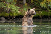 Grizzly sitting up in the water fishing for salmon, Chiko Lake, BC