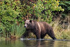 Mother grizzly walking along the lakeshore in the fall, Chilko Lake, BC
