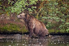 Female grizzly standing on the shore of a favorite fishing hole, Chiko Lake, BC