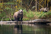 Grizzly sow surveyng the lake, 2nd year cub in woods, Chilko Lake, BC