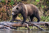 Older grizzly cub walking along log by the shoreline, Chilko Lake, BC