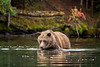 Grizzly sniffing out underwater salmon, Chilko Lake, BC