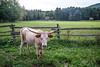 Steer at Longyear Farm Woodstock New York