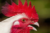 Longyear Farm Woodstock New York Rooster