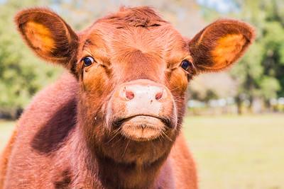 Cow, Lake Mary, Florida, USA