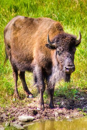 Custer State Park, South Dakota, USA
