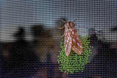 Moth in California