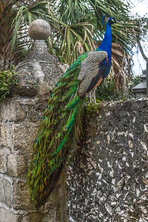 Peacock, Saint Augustine, Florida
