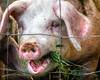 Longyear Farm Woodstock New York Pig