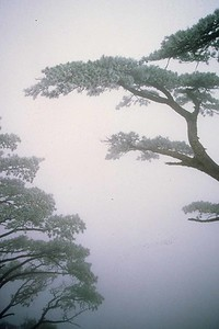 Huangshan, trees on cliff, Anhui Province