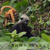 White-headed Langur 19h