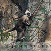 White-headed Langur 19k