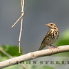 Olive-backed Pipit 19b