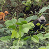 White-headed Langur 19e