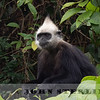 White-headed Langur 19i