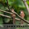 Yellow-eyed Babbler 19b
