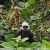 White-headed Langur 19f