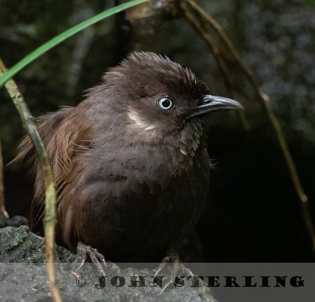 Nonggang Babbler 19a